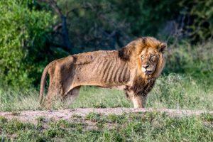 lion alone
